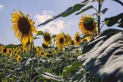 Girasoles felices en el campo polinizado por las abejas fotografía de archivo