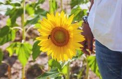 Girasoles felices en el campo polinizado por las abejas foto de archivo libre de regalías