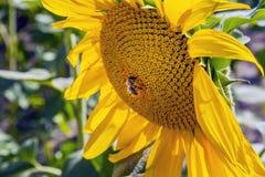 Girasoles felices en el campo polinizado por las abejas imagen de archivo libre de regalías