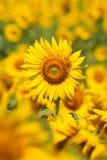 Girasoles, flor Imágenes de archivo libres de regalías