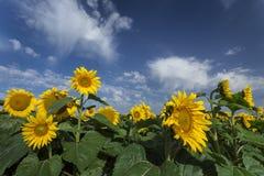 Girasoles florecientes bajo sorprender Fotografía de archivo