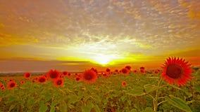 Girasoles florecientes. 4K. HD LLENO, 4096x2304. almacen de metraje de vídeo