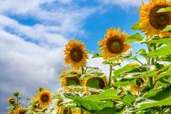 Girasoles florecientes y polinización de ellos abejas de la miel Fotos de archivo libres de regalías