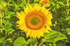 Girasoles Girasol en jardín Girasoles que florecen en jardín del girasol Girasol, flores amarillas para el jardín Girasol en natu Fotos de archivo