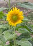 Girasoles, girasoles que florecen contra un cielo brillante, girasoles, girasoles que florecen, girasoles hermosos, girasoles, Th Foto de archivo libre de regalías