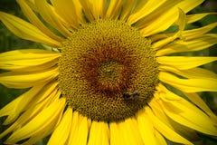 Girasoles grandes con la abeja Fotos de archivo libres de regalías