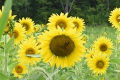 Girasoles grandes en primer del campo con la abeja Fotografía de archivo libre de regalías