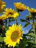 Girasoles hermosos Imagen de archivo libre de regalías