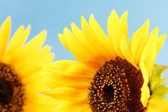 Girasoles hermosos Imagen de archivo