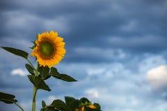 Girasoles hermosos Foto de archivo libre de regalías