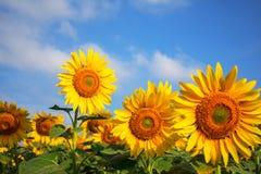 Girasoles hermosos con el cielo Imágenes de archivo libres de regalías