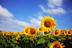 Girasoles hermosos con el cielo Foto de archivo libre de regalías