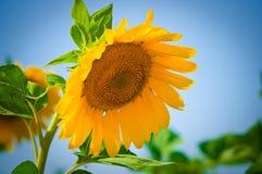 Girasoles hermosos con el cielo azul imagen de archivo libre de regalías
