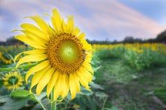 Girasoles hermosos con la abeja en campo del girasol Foto de archivo libre de regalías
