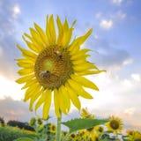 Girasoles hermosos con la abeja en campo del girasol Fotos de archivo libres de regalías