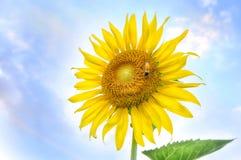 Girasoles hermosos con la abeja en el cielo azul brillante Imágenes de archivo libres de regalías