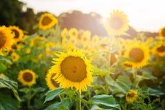 Girasoles hermosos en el campo Fotos de archivo