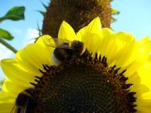 Girasoles hermosos en el campo con la abeja Fotos de archivo libres de regalías