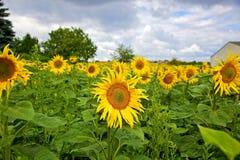 Girasoles hermosos en el campo en verano Foto de archivo