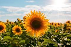Girasoles hermosos en el fondo natural del campo, floración del girasol Fotos de archivo libres de regalías