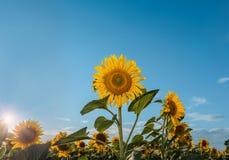 Girasoles hermosos en el fondo natural del campo, floración del girasol Fotografía de archivo