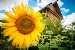 Girasoles hermosos en la casa y el cielo Foto de archivo