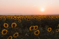 Girasoles hermosos en la puesta del sol Imagenes de archivo
