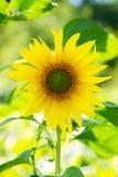 Girasoles jovenes de una planta floreciente Fotos de archivo