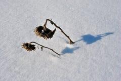 Girasoles marchitados pares en el campo nevoso imágenes de archivo libres de regalías