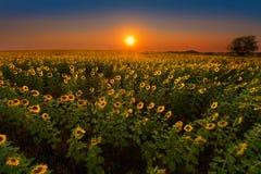 Girasoles que brillan intensamente en la puesta del sol Foto de archivo