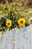 Girasoles que buscan para el sol Fotos de archivo