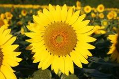 Girasoles que crecen en un campo con una abeja de polinización Imagen de archivo