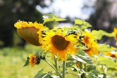 Girasoles que florecen cerca de la casa Producción de aceite vegetal Cultivo agroindustrial Decoración y el ajardinar alrededor d Imagenes de archivo