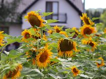 Girasoles que florecen cerca de la casa Producción de aceite vegetal Cultivo agroindustrial Decoración y el ajardinar alrededor d Foto de archivo libre de regalías
