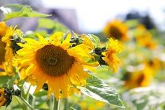 Girasoles que florecen cerca de la casa Producción de aceite vegetal Cultivo agroindustrial Decoración y el ajardinar alrededor d Foto de archivo