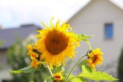 Girasoles que florecen cerca de la casa Producción de aceite vegetal Cultivo agroindustrial Decoración y el ajardinar alrededor d Fotografía de archivo
