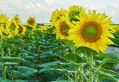 Girasoles que florecen contra un cielo brillante Fotografía de archivo