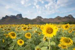 Girasoles que florecen en el cielo azul brillante, paisaje agradable con Foto de archivo libre de regalías