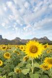 Girasoles que florecen en el cielo azul brillante, paisaje agradable con Imagen de archivo