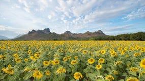 Girasoles que florecen en el cielo azul brillante, paisaje agradable con Imágenes de archivo libres de regalías