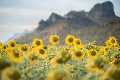 Girasoles que florecen en el cielo azul brillante, paisaje agradable con Fotografía de archivo