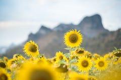 Girasoles que florecen en el cielo azul brillante, paisaje agradable con Fotografía de archivo libre de regalías