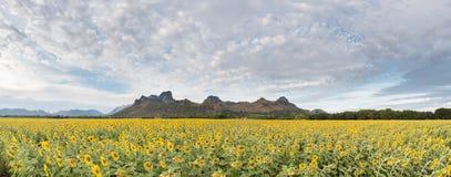 Girasoles que florecen en el cielo azul brillante, paisaje agradable con Foto de archivo