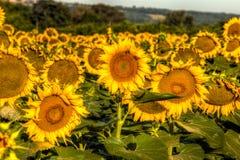 Girasoles que miran para arriba al sol imagen de archivo