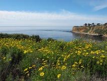 Girasoles salvajes de Bush en Palos Verdes, California Fotos de archivo libres de regalías