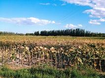 Girasoles secados Fotografía de archivo libre de regalías