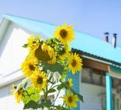 Girasoles soleados delante de la casa, fondo rural colorido del verano Foto de archivo libre de regalías