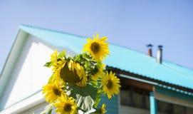 Girasoles soleados delante de la casa, fondo rural colorido del verano Fotografía de archivo