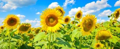 Girasoles soleados en campo del verano imagen de archivo libre de regalías