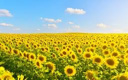 Girasoles soleados en campo del verano fotos de archivo libres de regalías